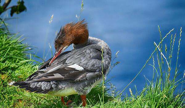 Фото: Утка крохаль в природе