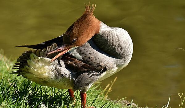 Фото: Как выглядит утка крохаль