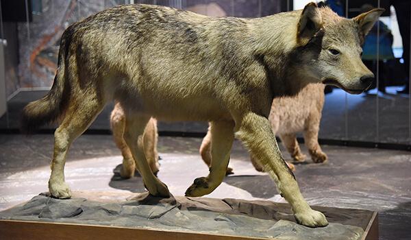 Фото: Как выглядит ужасный волк