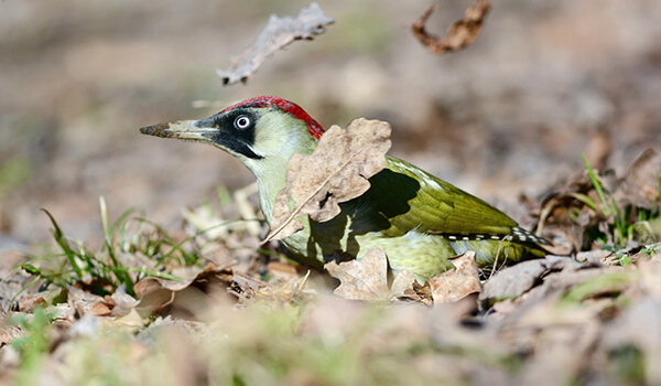 Фото: Птица зеленый дятел