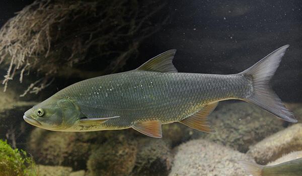 Фото: Рыба жерех