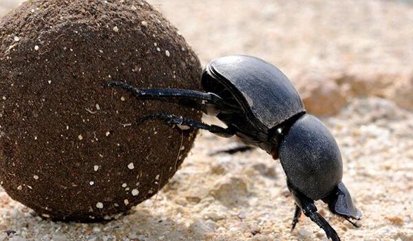 Фото: Насекомое жук-навозник
