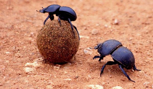 Фото: Шар жука-навозника