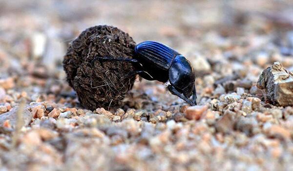 Фото: Как выглядит жук-навозник