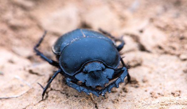 Фото: Как выглядит жук скарабей