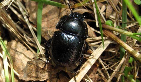 Фото: Большой жук скарабей