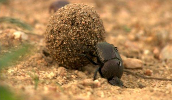 Фото: Египетский жук скарабей