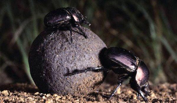 Фото: Жук скарабей в природе