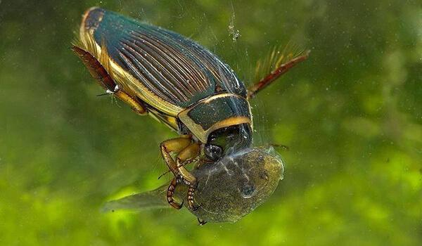 Фото: Большой жук плавунец