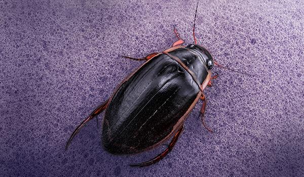 Фото: Как выглядит жук плавунец