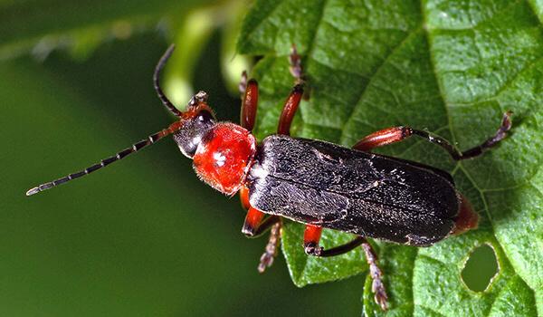 Фото: Красный жук пожарник