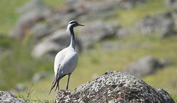 Фото: Птица журавль-красавка