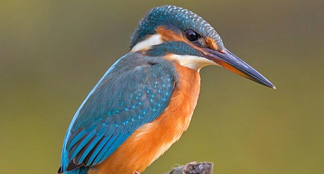 Фото: Птица зимородок