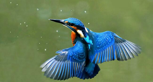 Фото: Зимородок в полете