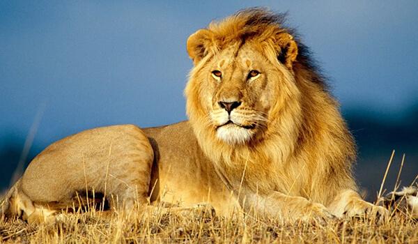 Фото: Как выглядит африканский лев