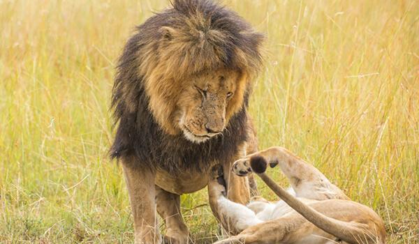 Фото: Африканский лев в природе