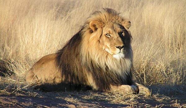 Фото: Африканский лев из Красной книги