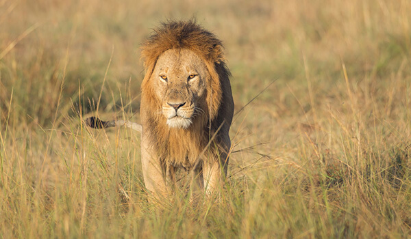 Фото: Африканский лев