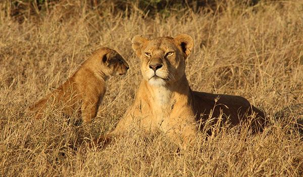 Фото: Самка африканского льва