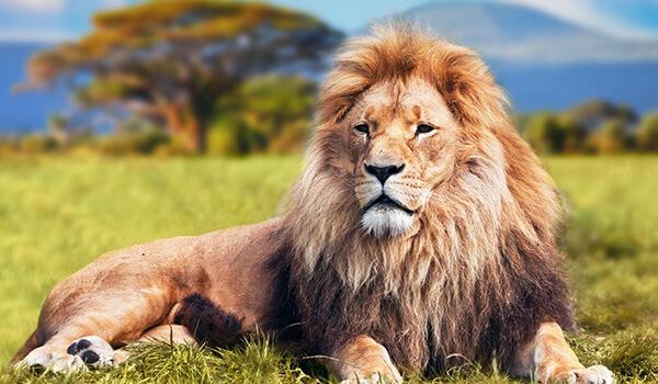 Фото: Хищный африканский лев