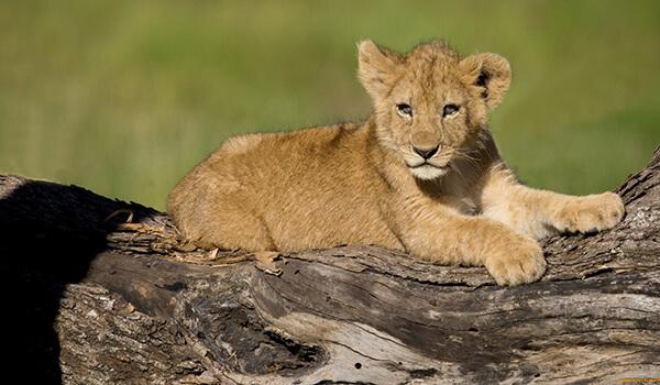 Фото: Детеныш африканского льва