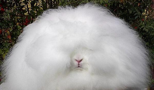 Фото: Белый ангорский кролик