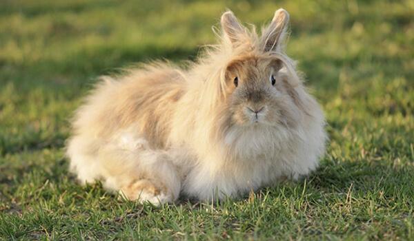 Фото: Ангорский кролик в России