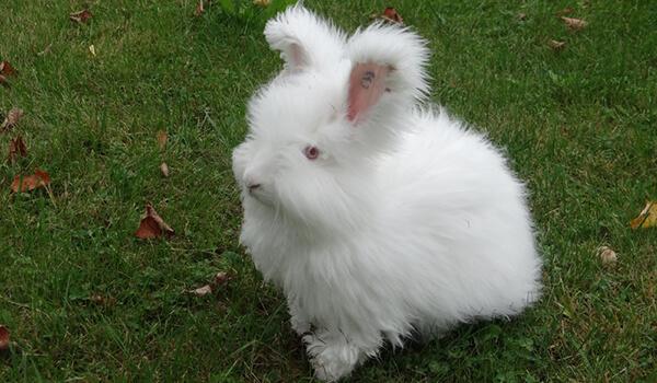 Фото: Как выглядит ангорский кролик