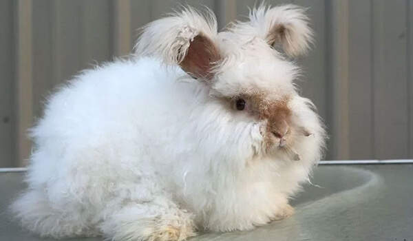 Фото: Английский ангорский кролик