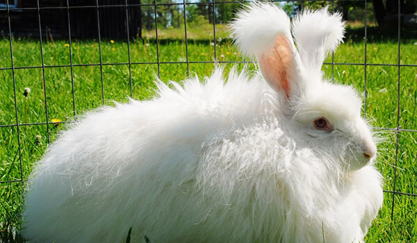 Фото: Ангорский кролик