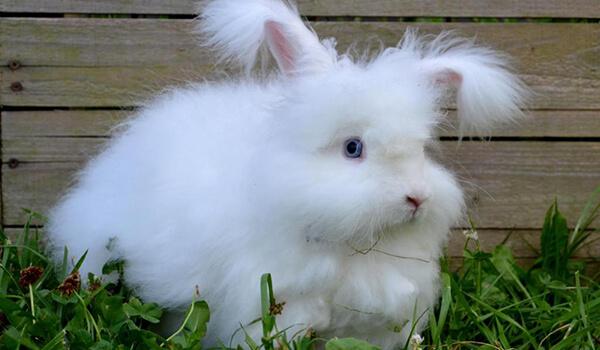 Фото: Ангорский карликовый кролик