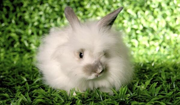 Фото: Декоративный ангорский кролик