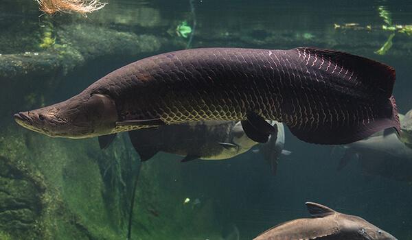 Фото: Рыба пираруку