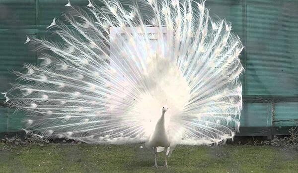 Фото: Белый павлин распускает хвост