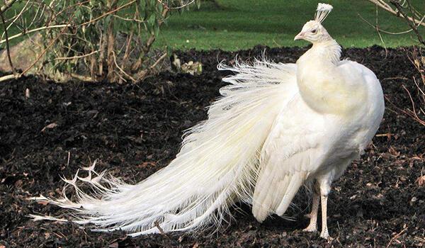 Фото: Птица белый павлин