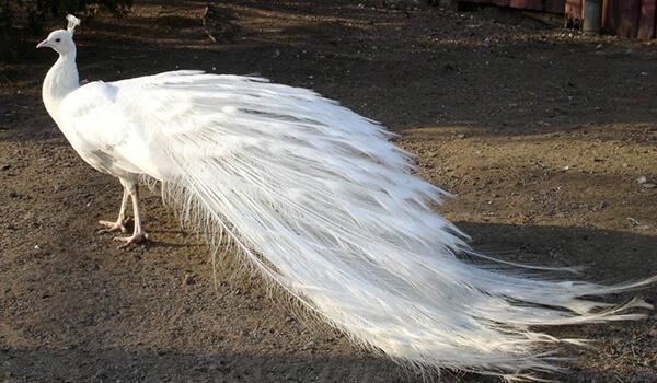 Фото: Красивый белый павлин