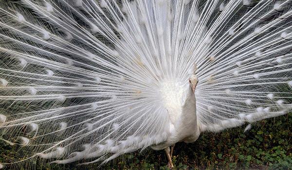Фото: Белый павлин