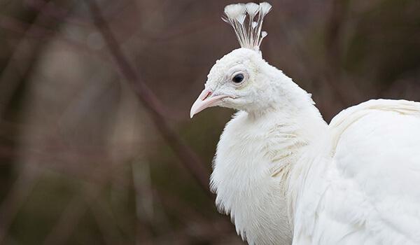 Фото: Как выглядит белый павлин
