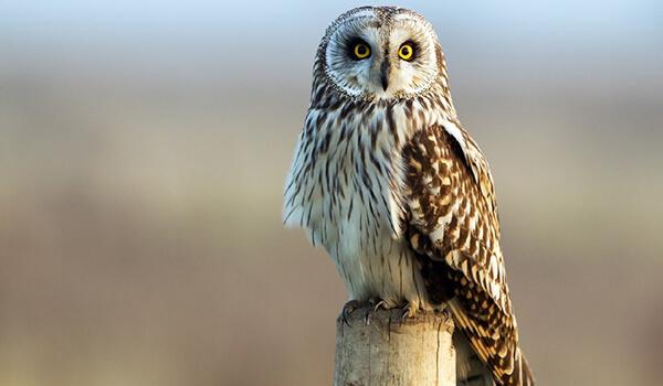 Фото: Болотная сова в Беларуси
