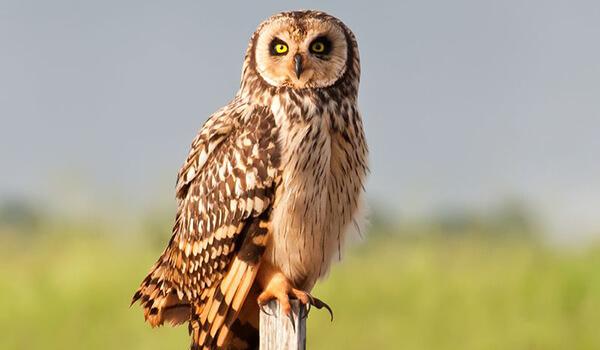 Фото: Болотная сова в природе