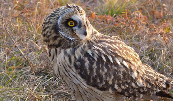 Фото: Как выглядит болотная сова
