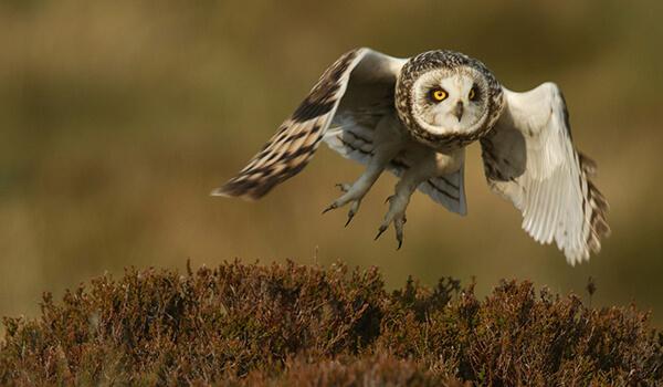 Фото: Болотная сова в полете