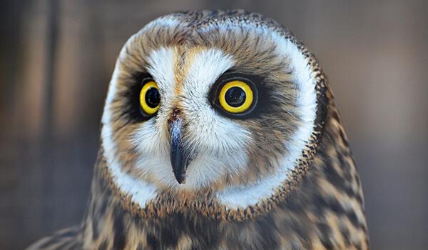 Фото: Болотная сова