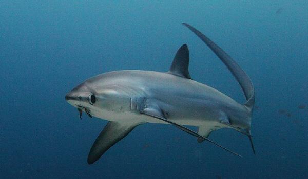 Фото: Большеглазая лисья акула