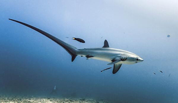 Фото: Лисья акула в Турции