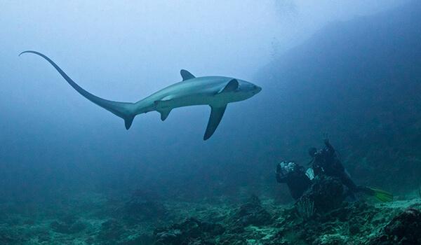 Фото: Большеглазая лисья акула под водой