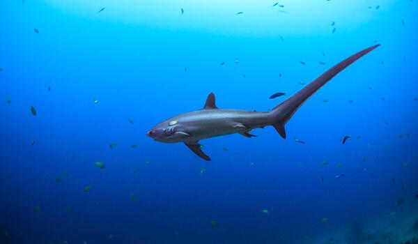 Фото: Большеглазая лисья акула из Красной книги