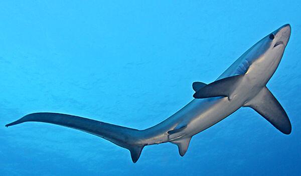Фото: Как выглядит большеглазая лисья акула