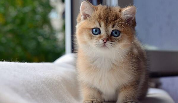Фото: Кот британская золотая шиншилла