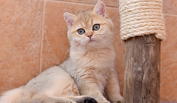 Фото: Кошка британская золотая шиншилла